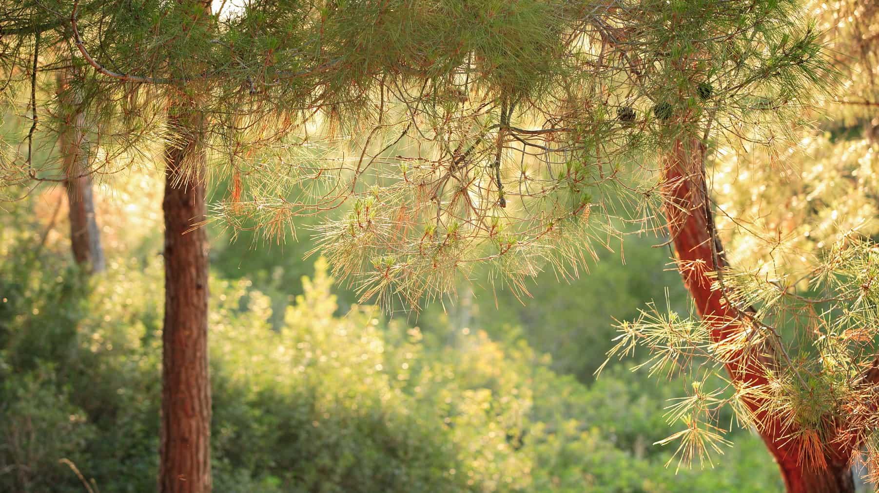 SIKYON_COAST_PEFKIAS_FOREST_4
